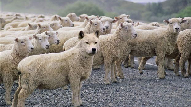 Who allows wolves in sheep's clothing